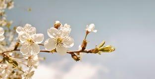 Körsbärsröd blomning i retro signal bakgrund blommar fjädern Körsbärsrött blommande träd på blå himmel Royaltyfria Foton