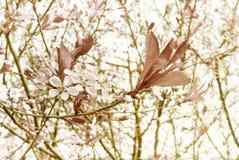 Körsbärsröd blomning i retro signal bakgrund blommar fjädern Körsbärsrött blommande träd på blå himmel Arkivbild