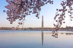 Körsbärsröd blomning i sikt av Washington Monument royaltyfria foton