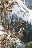 Körsbärsröd blomning i snöig maritima fjällängar, Frankrike Arkivfoton