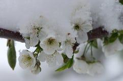 Körsbärsröd blomning i snön fotografering för bildbyråer