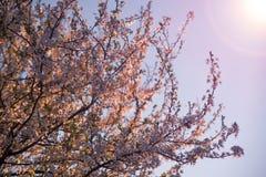 Körsbärsröd blomning i solljus Fotografering för Bildbyråer