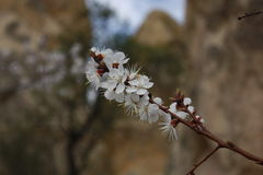 Körsbärsröd blomning i Turkiet Fotografering för Bildbyråer