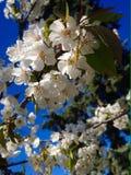 körsbärsröd blomning i vår Arkivbild