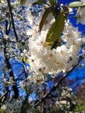 körsbärsröd blomning i vår Royaltyfri Fotografi