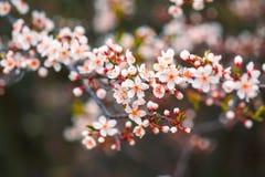 körsbärsröd blomning i vår Royaltyfri Foto