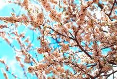körsbärsröd blomning i vår Royaltyfria Foton