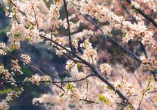 körsbärsröd blomning i vår Fotografering för Bildbyråer
