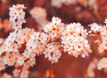 körsbärsröd blomning i vår Arkivfoto