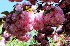 körsbärsröd blomning i vår Arkivbilder