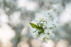 körsbärsröd blomning i vår Royaltyfria Bilder