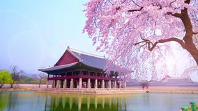 Körsbärsröd blomning i vår av den Gyeongbokgung slotten i seoul, Korea
