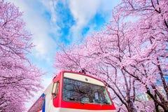 körsbärsröd blomning i vår Den Jinhae Gunhangje festivalen är den största festivalen för den körsbärsröda blomningen i Korea arkivbilder