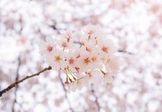 Körsbärsröd blomning i vår med den mjuka fokusen Arkivbilder