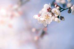 Körsbärsröd blomning i vår med den mjuka fokusen Royaltyfria Foton