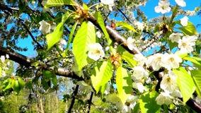 körsbärsröd blomning i vår med kameradrev lager videofilmer