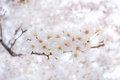 Körsbärsröd blomning i våren, bakgrund Royaltyfri Foto