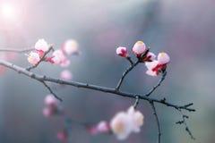 Körsbärsröd blomning i våren, bakgrund Arkivfoto
