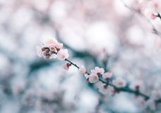 Körsbärsröd blomning i våren, bakgrund Arkivbilder