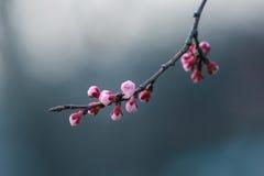 Körsbärsröd blomning i våren, bakgrund Royaltyfri Bild