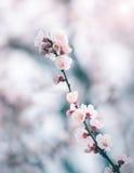 Körsbärsröd blomning i våren, bakgrund Royaltyfria Bilder