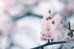 Körsbärsröd blomning i våren, bakgrund Arkivbild
