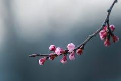Körsbärsröd blomning i våren, bakgrund Royaltyfria Foton