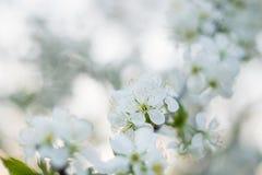 Körsbärsröd blomning i vårsolnedgång Fotografering för Bildbyråer
