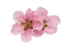 Körsbärsröd blomning, isolerade sakura blommor Arkivfoto