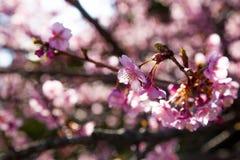 Körsbärsröd blomning Japan royaltyfri fotografi