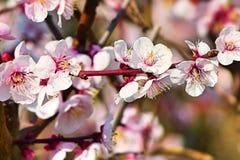 Körsbärsröd blomning - japansakura träd Arkivbilder