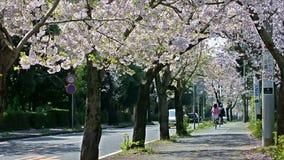 Körsbärsröd blomning längs gatan arkivfilmer