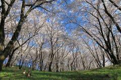 Körsbärsröd blomning Matsumoto Nagano Japan Royaltyfri Foto