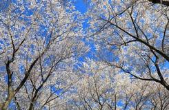 Körsbärsröd blomning Matsumoto Nagano Japan Royaltyfria Foton