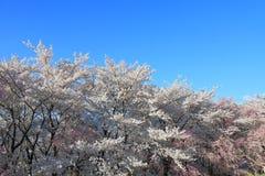 Körsbärsröd blomning Matsumoto Nagano Japan Arkivbilder