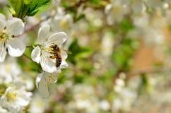 Körsbärsröd blomning med biet Royaltyfri Fotografi