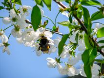 Körsbärsröd blomning med biet royaltyfri foto