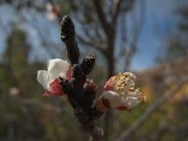 Körsbärsröd blomning med djup av fältet i vår Royaltyfri Bild