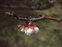Körsbärsröd blomning med djup av fältet i vår Royaltyfri Foto