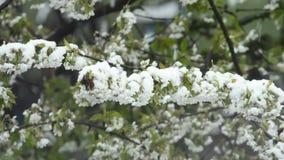 Körsbärsröd blomning med fallande snö stock video