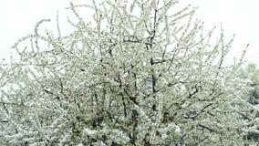 Körsbärsröd blomning med fallande snö lager videofilmer