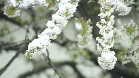 Körsbärsröd blomning med fallande snö arkivfilmer