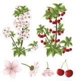 Körsbärsröd blomning och frukter Arkivbilder