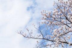 Körsbärsröd blomning och himlen i Kyoto royaltyfria foton