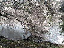 Körsbärsröd blomning och kronbladen på vatten Arkivbild