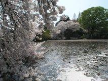 Körsbärsröd blomning och kronbladen på vatten Arkivfoton