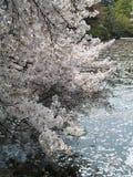 Körsbärsröd blomning och kronbladen på vatten Arkivbilder