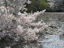 Körsbärsröd blomning och kronbladen på vatten Arkivfoto