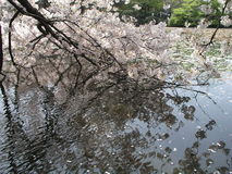 Körsbärsröd blomning och kronbladen på vatten Royaltyfria Foton