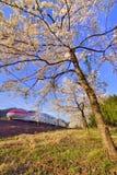 Körsbärsröd blomning och kuldrev Arkivbilder